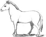 Przevalskys Horse