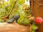 Raspberry Shoe