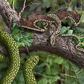 Wood Dragon vs Tree Snake