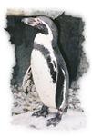 Penguin Pose