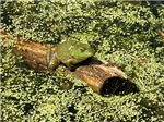 Bullfrog on log in swamp
