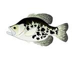 Black Crappie Sunfish