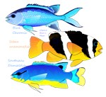3 Reef Damselfish