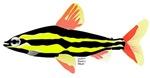 Striped Headstander fish