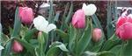 Panoramic Tulips