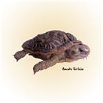 Pancake Tortoise Gifts
