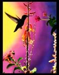 Original Lil' Hummingbird