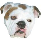 Bull Dog Portrait