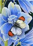 Sara Orange Tip Butterfly