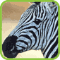 Zebra T-Shirts and Gifts