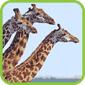 Giraffe T-Shirts and Gifts