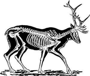 Stag Skeleton