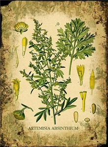 Absinthe Botanical Illustration