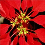 Red Poinsettia - Christmas Holidays