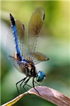 BEAUTIFUL BLUE DRAGONFLY