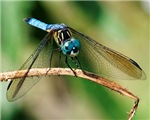 BLUE DASHER SKIMMER