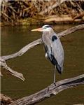 Great Blue Heron# 3