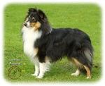 Shetland Sheepdog 9B055D-06