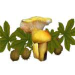 Yellow Mushrooms Seed Pod