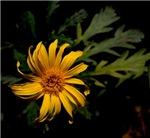 Wilting Yellow Daisy