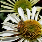 Bee on a Dasiy