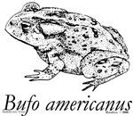 Bufo americanus
