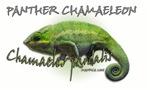 Panther Chamaeleon
