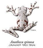 Anotheca spinosa
