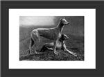 Framed Greyhound Prints