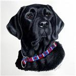 American Boy- Black Labrador