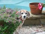 Notecards - Beagles