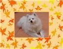 Eskie Maple Leaves