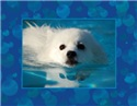 Swimming Eskie