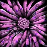 Wild Pink Sunflower
