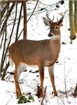 Whitetail Deer In Winter Apparel