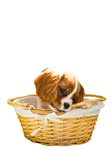 Cavalier King Charles Spaniel Puppy In A Basket