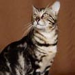 Bengal Cat Marble