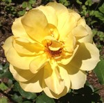 Stunning Yellow Tea Rose