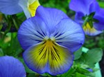 Gorgeous Blue and Yellow Viola
