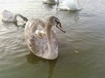 Gorgeous Swan a Swimmin