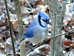 Beautiful BlueJay