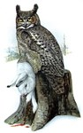 Illustration of Horned Owl