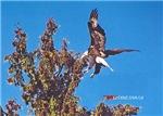 Wild Bald Eagle Landing in Tree