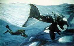 Orca & Diver