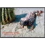 Gila Monster Lizard Photo