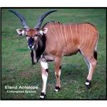 Eland Antelope Photo