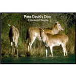 Pere David's Deer Photo