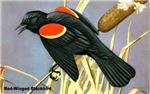 Red-Winged Blackbird Bird