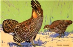 Prairie Chicken Bird