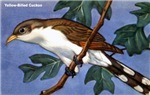 Yellow-Billed Cuckoo Bird